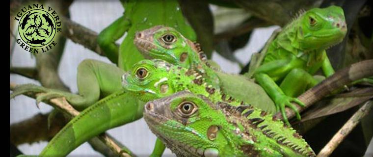 Iguana Verde - Green Life